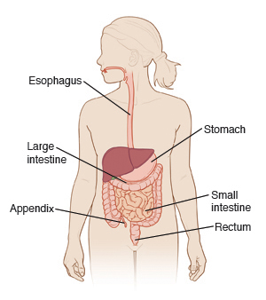 Front view of woman showing digestive tract.