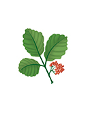 Leaves and berries of poison oak.